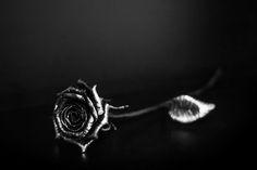 steel rose