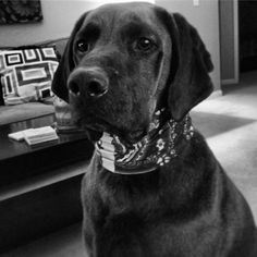 """""""Ramsey rockin' the Christmas present."""" Sharing this, with permission from Suzanne Holt (@Suzanne Holt on Twitter).  How does your pooch rock the Buff?"""
