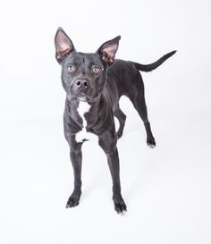 Susie Q is a sweet cuddlebug who can't wait to have a human of her own. She loves going for walks, sleeping on comfy beds, and can't wait to learn some tricks. Meet Susie Q at LifeLine's DeKalb Animal Services at 3280 Chamblee Dunwoody Rd. Susie Q's adoption fee is waived! For more information about Susie Q, please contact us: adoption@dekalbanimalservices.com foster@dekalbanimalservices.com rescue@dekalbanimalservices.com