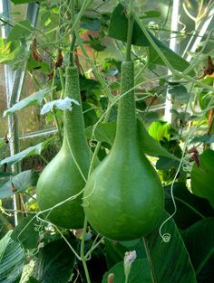 Dipper Gourds