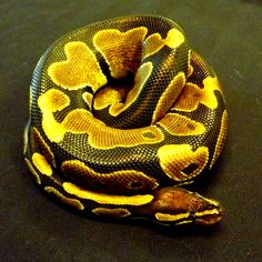 Ball Python Care Sheet - Josh's Frogs How-To Guides for Reptiles ...
