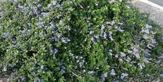 Ceanothus Yankee Point in a parking lot. This is probably the most popular ground cover in California. - grid24_12