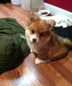 Ever wondered what you'd get if you crossed a Corgi with a Chihuahua? Check our compilation of Corgi crossbreeds to see more of these pawsome doggies. Corgi Mix Puppies, Pomeranian Mix Puppies, Corgi Mix Breeds, Mixed Breed Puppies, Cute Puppies, Dog Breeds, Dogs And Puppies, Mezcla Corgi, Corgi Doodle
