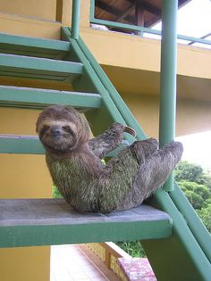 sloth, I absolutely love them!  I had the pleasure of seeing 6 in the wild in Costa Rica!