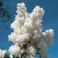 Madame Lemoine White Lilac from Stark Bro's