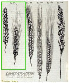 Old school wheat sketches