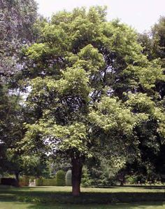 Tree sycamore maple