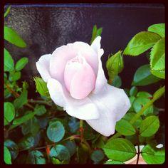 薔薇…(Pinterestの練習)