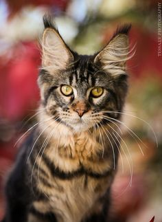 Maine Coon cat by Ludmila Pankova tessa.lv http://www.mainecoonguide.com/male-vs-female-maine-coons/