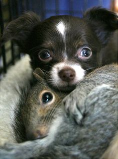 A Chihuahua pup named Zachary from Cundy's Harbor, Maine snuggles with one of three orphaned squirrels that his mother is raising along with her own two puppies.