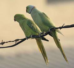perruche-collier-oiseaux