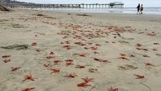 Tiny red crabs wash up by the thousands along the shores of Orange County, creating quite a spectacle for beachgoers.