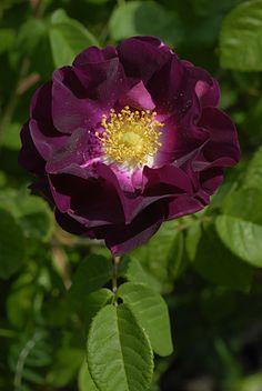 ~Gallica Rose: Rosa 'Merveille' (Finland, 2008)