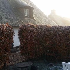 The morning breaks over southern Denmark.  A frosty start to the day making our thatched roof glisten and dance in light with this hedge.  Double tap if you like winter...