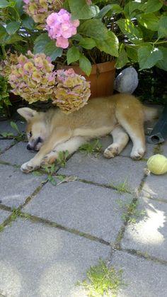 Akita inu puppy sleeping | Kano | so cute