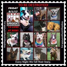 TO BE DESTROYED 09/01/17 - - Info To rescue a Death Row Dog, Please read this:http://information.urgentpodr.org/adoption-info-and-list-of-rescues/ To view the full album, please click here: http://nycdogs.urgentpodr.org/tbd-dogs-page/ - Click for info & Current Status: http://nycdogs.urgentpodr.org/to-be-destroyed-4915/