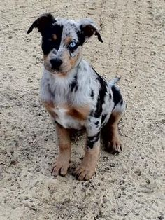 Catahoula Leopard Dog. LOVE these dogs by bizz