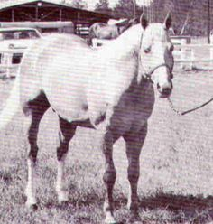Skip School; 1957; Palomino stallion); (Skipper W x School Madam); Breeder: H. J. Wiescamp; Owned by Pat Dunning of NM; SHOW RECORD: Halter pts. 18, Wkg. Pts. 3  OFFSPRING RECORD: AQHA Champion/Superior, Performance/Superior Halter, ROM Arena Offspring