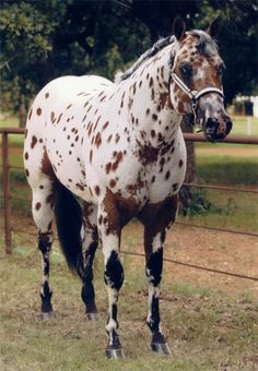 Bay Leopard Appaloosa stallion