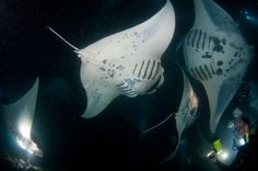 Manta Ray  - Night Dive - Kona, Hawaii