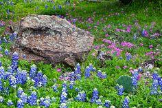 Wildflower Meadow - Inks Lake State Park, Texas