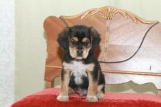 Bailey is an adoptable Cavalier King Charles Spaniel Dog in Hale, MI This is the sweetest puppy ever. Mom is cavalier not sure of dad? He is 8 wks old and has first ... ...Read more about me on @Petfinder.com.com