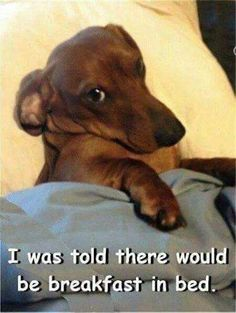 Some of the things I adore about the Daschund - Dachshund - Puppies Dachshund Facts, Dachshund Funny, Dachshund Quotes, Dachshund Love, Funny Dachshund Pictures, Dachshund Rescue, Cute Puppies, Cute Dogs, Funny Dog Memes