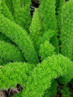 Asparagus densiflorus 'Myersii' Myers Foxtail Fern {I bought two small plants from Home Depot 10AUG2014}