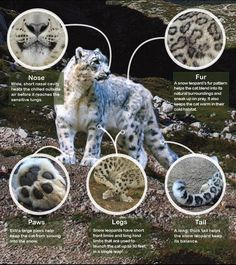 Physical characteristics of a snow leopard. copied.
