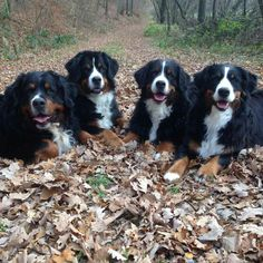 The Gang Big Dogs, Cute Dogs, Dogs And Puppies, Doggies, Bernese Mountain, Mountain Dogs, Bernice Mountain Dog, Bernese Puppy, Entlebucher