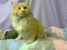 2/13/17 URGENT!! FLAMBEAU -- ID# A665168  Temperament: FRIENDLY  I am a Male Orange Tabby & White Domestic Longhair.  The shelter staff think I am about 2 years old.  I have been at the shelter since February 04, 2017.  I will be available for rescue on February 09, 2017.  I am currently at Devore Shelter in San Bernardino County, California. https://www.facebook.com/KittyDevoreRescueNetwork/photos/a.197145163754812.48952.160545664081429/937983809670940/?type=3&theater