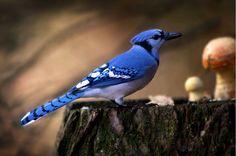 El arrendajo azul, por Andre Villeneuve