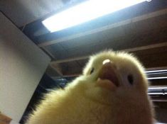 When your family doesn't understand any of the funny memes you show them Cute Little Animals, Cute Funny Animals, Reaction Pictures, Funny Pictures, Funny Pics, Memes Lindos, Baby Ducks, Mood Pics, Funny Animal Memes