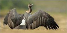 Ban Toxic Chemical Killing Endangered Indian Vultures