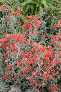"""Dicliptera suberecta  """"Uraguayan Firecracker Plant"""", full sunHEAT, HUMIDITY & DROUGHT TOLERANT perennial. 2' tall & 3' across with refined, velvety, bluish-grey leaves & stems, Starting in mid-Summer, tons of long-lasting, rich coral, tubular flower clusters burst out all over, tempting hummers from near & far. Dormant in Winter"""