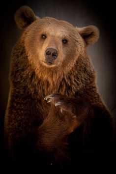 Bear Spirit  It's a perfect portrait.