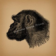Antique Chimpanzee Monkey Vintage Print by SparrowHousePrints