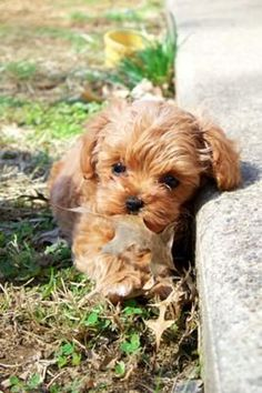My First Treasure: My new baby girl is absolutely beautiful! She's a Maltipoo and her fluffy brown coat just shines in the green grass of Spring! This is her treasure she