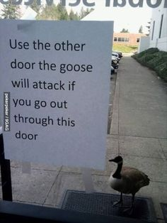 Badass goose is badasss --- ba haha this reminds me of ypg training in calgary - the poor goose or duck or whatever it was outside the dim sum restaurant waiting for it's brothers to come back out... They never will little guy. They never will.