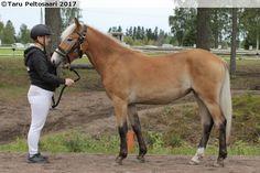 bay silver - Finnhorse filly Rahkeen Hopeahippu
