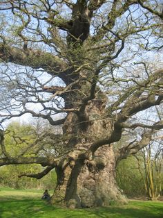 trees of the netherlands | Majesty, one of the most beautiful oak trees I've ever seen.