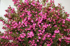 boronia flower bouquet - Google Search