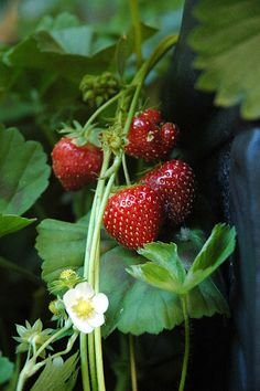 strawberries-may be tucking some in to the floral also thought some berry tarts would make an awesome dessert display