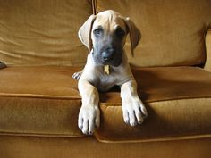 great dane puppy- reminds me so much of our great dane when she was a puppy!