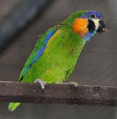 orange-breasted fig parrot (Cyclopsitta gulielmitertii), female, Papua New Guinea. Photo: Quartl