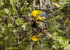 2014-03-30 Prothonotary Warbler