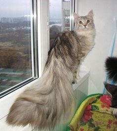At last, the mad scientist had produced a successful cat/peacock hybrid…      peacat?    this is the most luxurious cat in all of the world    Peacat? NoPussycock.    ^STORM I NEARLY CHOKED    That's what she said.
