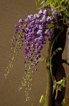Glycine du Japon, WISTERIA floribunda 'VIOLACEA PLENA' (='BLACK DRAGON)