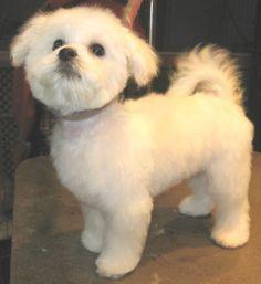 teddy bear haircut for maltese Maltipoo Haircuts, Dog Haircuts, Teacup Puppies, Cute Puppies, Cute Dogs, Teacup Maltese, Dolly Parton, Pelo Lolita, Puppy Haircut