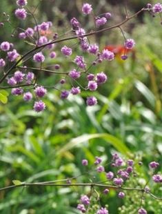 A delightful plant with sprays of small, double mauve flowers with yellow centres borne on tall stems above a mound of divided leaves. Excellent in the ...